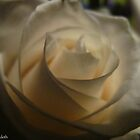 Whispering rose by MarianBendeth