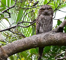 Tawny Frogmouth 1 by Cheryl Styles