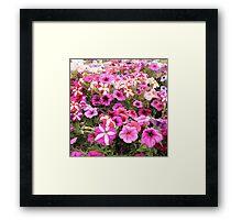 Pretty in Pink - Werribee Park, Victoria Framed Print