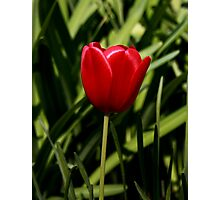 The Tulip Photographic Print