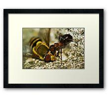 Ant eating of an eye Framed Print