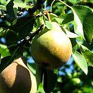 pears by delfinada