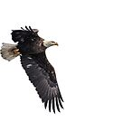 Isolated American Bald Eagle-1 by Thomas Young
