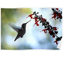 Hummingbird 10 Poster