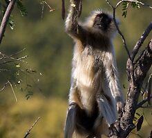 Langur Monkey II by Steve Bulford