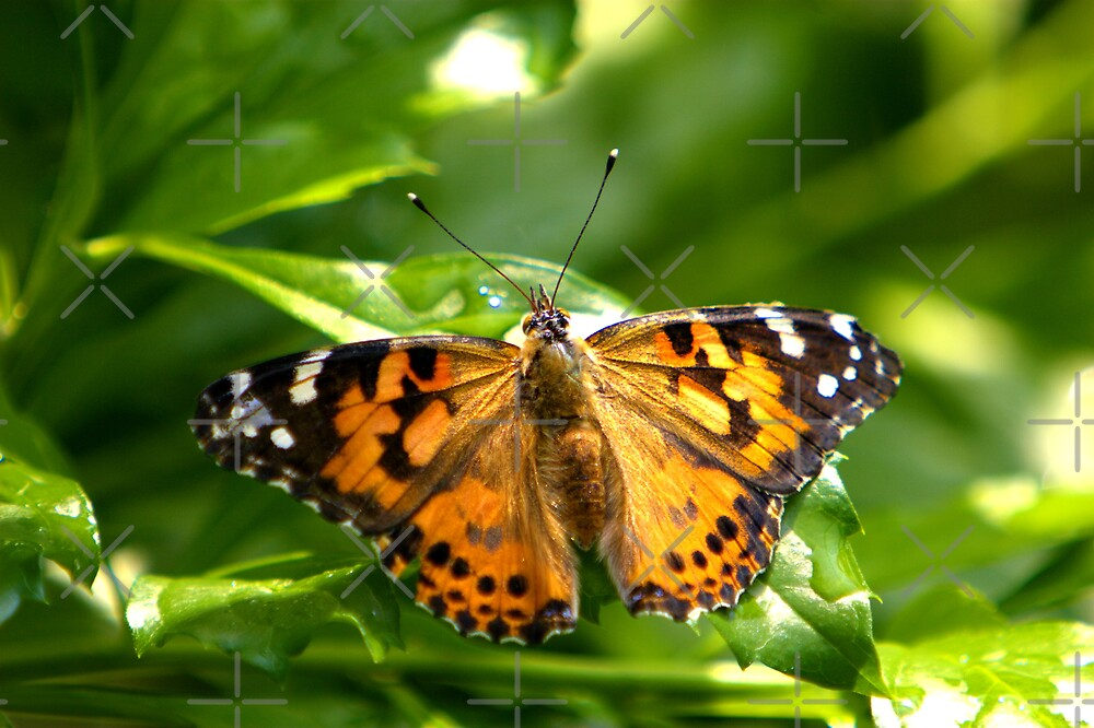 Painted Lady by Lisa G. Putman