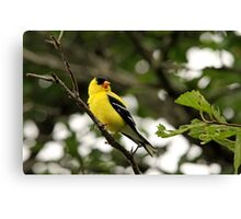 Brilliant Observer Goldfinch Canvas Print