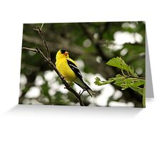 Brilliant Observer Goldfinch Greeting Card