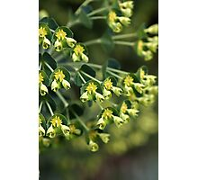 Unique Nature - Mediterranean spurge Photographic Print