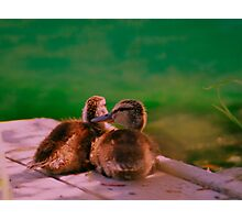 Baby Mallard ducklings. Photographic Print