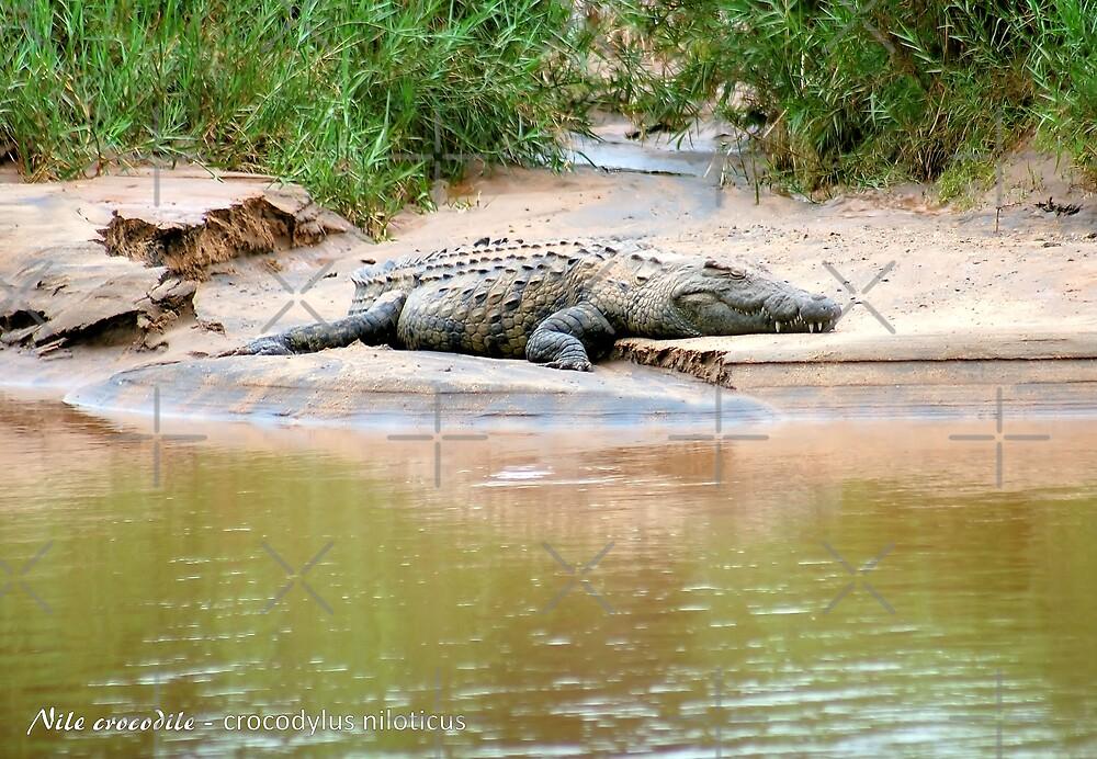 THE NILE CROCODILE - Crocodylus niloticus by Magriet Meintjes