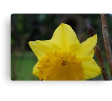 yellow daffodil macro Canvas Print