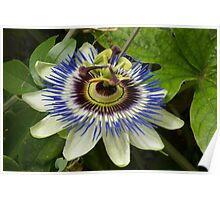 Blue Passion flower Poster