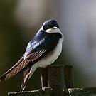 Tree Swallow by BigD