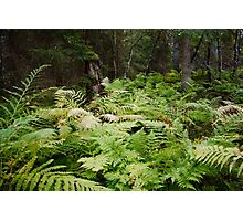 bed of ferns Photographic Print