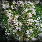 Lucerne Tree - Spring, Australia 2010 by EdsMum