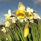 Daffs  by Rob Hawkins