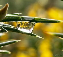 Droplets on Gorse by Jennie Anderson
