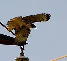 """""""Broad-Winged Hawk"""" by John McCracken"""