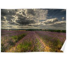 Lavender Field  Poster
