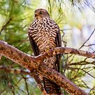 Collared Sparrow hawk by Rick Playle