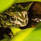 Motor Bike Frog by Rick Playle