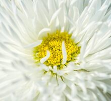 White English Daisy Flower by luckypixel
