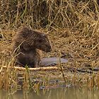 European bever - I by Peter Wiggerman