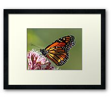 Monarch And Milkweed Framed Print