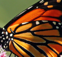 Monarch And Milkweed Sticker