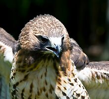 Red Tailed Hawk by LarryGambon