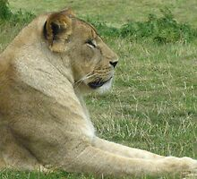 African Lion At Rest by Richard Durrant