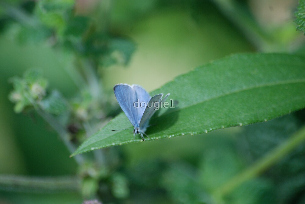 Holly Blue by dougie1