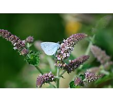 Holly Blue 2 Photographic Print