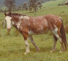 Coloured Clydesdale Mare by louisegreen
