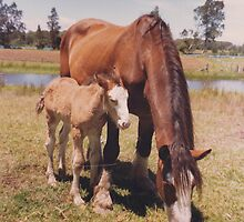 Clydesdale Mare & Filly - Oxley Island  by louisegreen