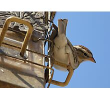 Chipping Sparrow #2 Photographic Print