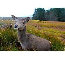 Deer, Glencoe, Scotland Photographic Print