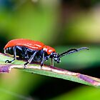 Red Lily Beetle by Pete Costick