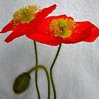 Poppies by Vic Cross