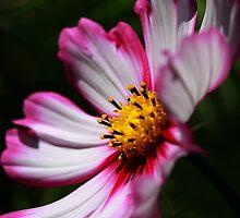 Pink And White by Deborah  Benoit