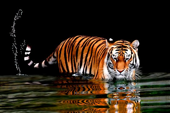 THE FLICK OF A TIGER'S TAIL by Michael Sheridan