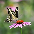Tiger Swallowtail Butterfly by Renee Dawson