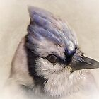 Portrait Of A Blue Jay by TOM YORK