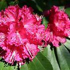 Rhododendron by Mishka Góra