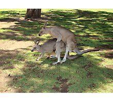18+ Kangaroos Photographic Print