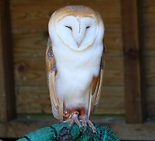 Barn Owl........ by jdmphotography