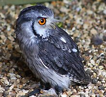 White-faced Scops Owl by jdmphotography