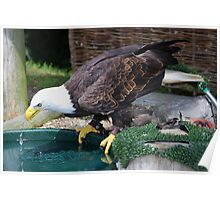 Bald Eagle  (Cooling down) Poster