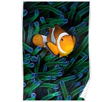 Anemonefish V Poster